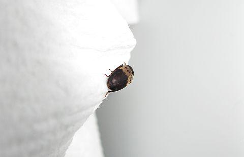 Jake the beetle