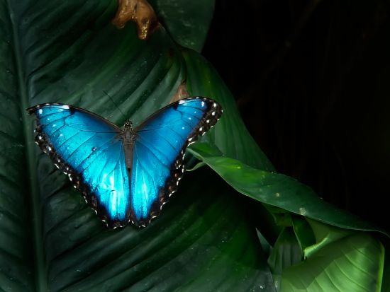 blue morpho on a leaf