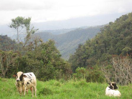 Cows having their own small chautauqua