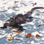 iguana tortuga bay