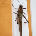 giant grasshopper-like bug